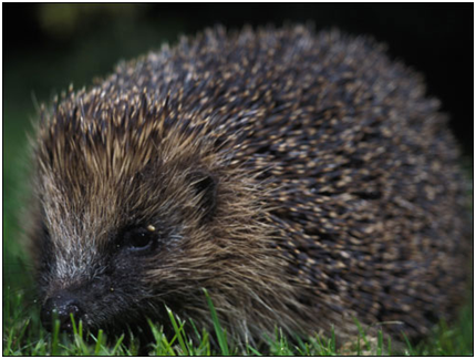 Doing more to help our hedgehogs